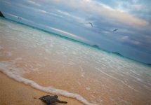 Galapagos Baby Sea Turtle